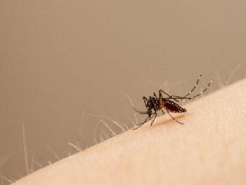 Mosquito Aedes aegypti transmite o vírus da Zika; pesquisadores desenvolvem vacina contra a doença. (Foto: John Eisele/Colorado State University Photography)