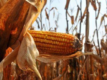 Mais de 70% da área de milho safrinha foi colhida em MS que teve 1,8 milhão de hectares plantados - Foto: Valdenir Rezende / Correio do Estado